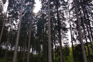 欧洲云杉原木期货,大径级,欧标A级I级顶级