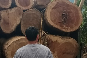 楠木原木批发价格