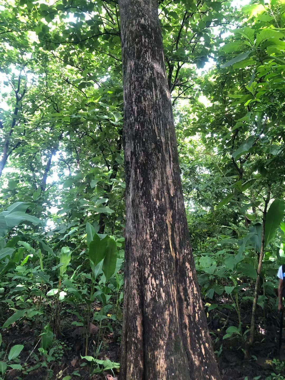 危地马拉Teak wood 及其它原木和木板
