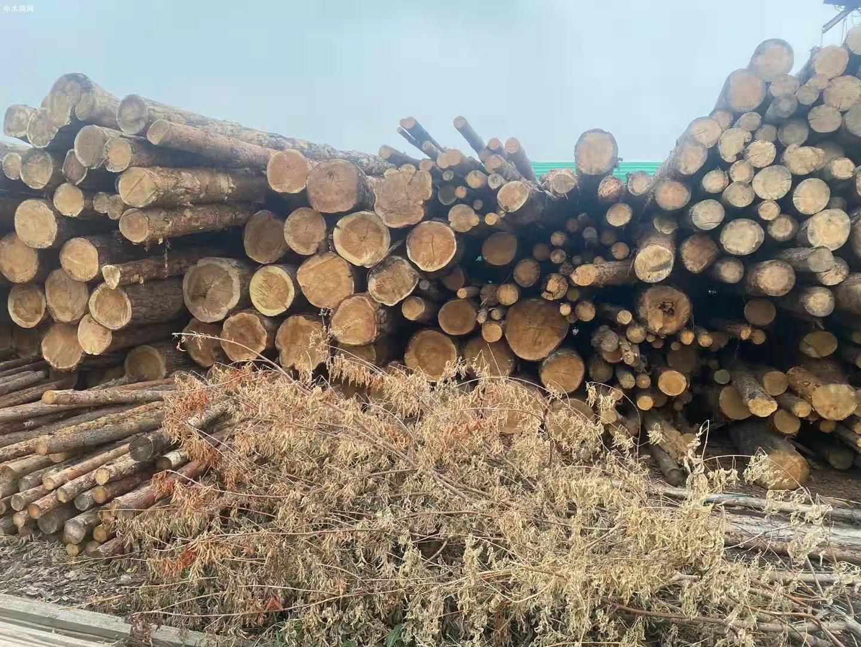 俄罗斯樟子松原木原产地直销价格