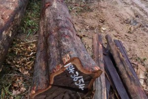铁木豆原木高清图片