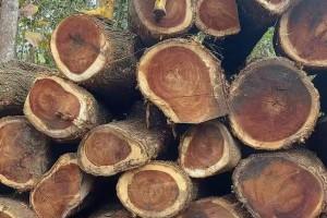 厄瓜多尔琥珀木雨木原木林场直签金合欢木南美洲木材高端